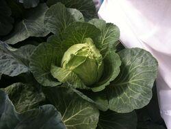 Cabbage Primo-2