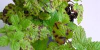 Septoria leaf spot of lemon balm