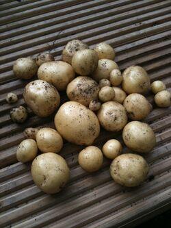 Potato Swift