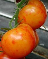 Tomato Blotchy Ripening