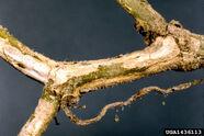 Cucumber Gummy stem blight Didymella bryoniae Stem