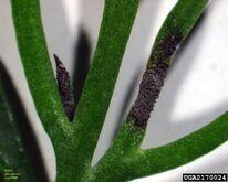 Dill Leaf Blight of Fennel Cercosporidium punctum