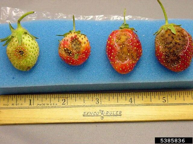 File:Strawberry Anthracnose.jpg