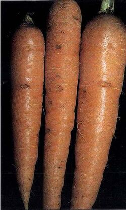 Carrot Cavity Spot