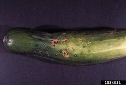Cucumber Cucurbit Scab