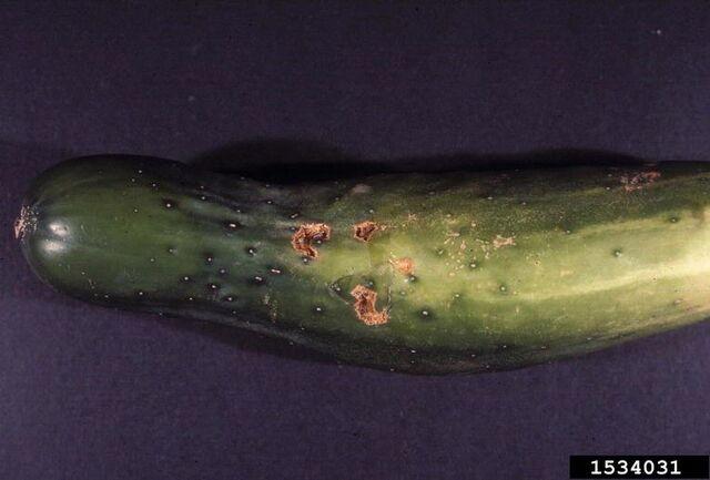 File:Cucumber Cucurbit Scab.jpg