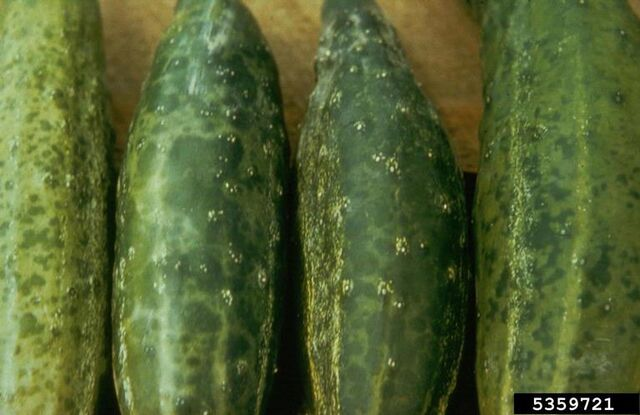 File:Cucumber Cucumber Mosaic Virus 2.jpg