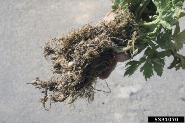 File:Celery Root-Knot Nematode.jpg