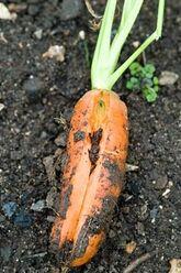 Carrot Splitting