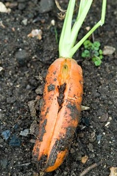 File:Carrot Splitting.jpg