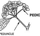 Peduncle