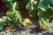 Common Beet Beet Leaf Curl Virus