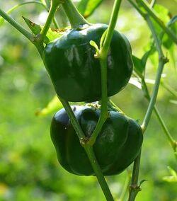 Sweet pepper Chocolate bell