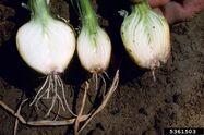 Onion Fusarium Wilt