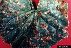 Cucumber Angular leaf spot P. amygdali pv. lachrymans Leaf