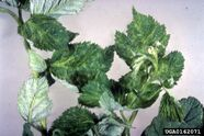 Raspberry Arabis mosaic virus