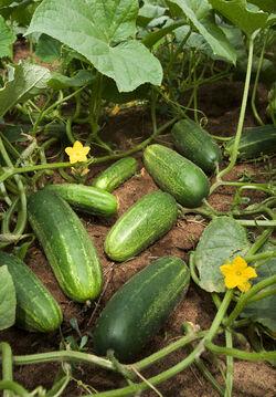 Cucumbers on a vine