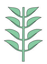 Leaf morphology Opposite distichous