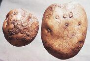 Potato Skin spot Polyscytalum pustulans