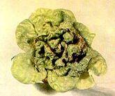 Lettuce Calcium Deficiency