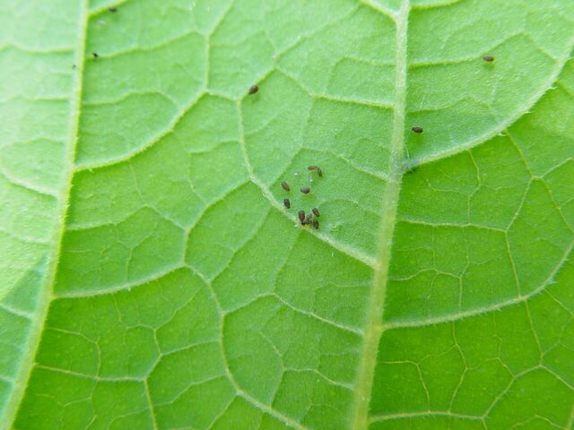 File:Blackfly Courgette Leaf.jpg