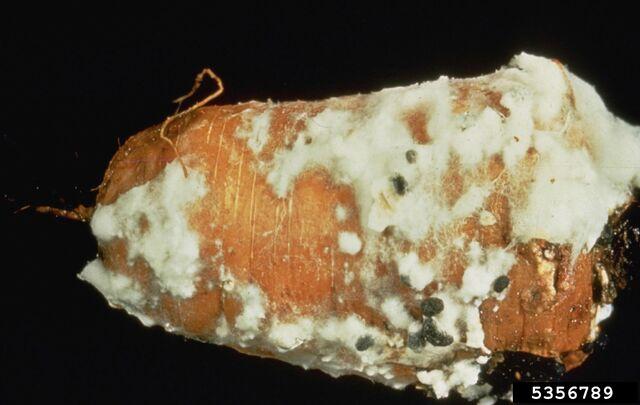 File:Carrot Sclerotinia Rot.jpg