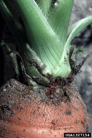 File:Carrot Weevil Crown.jpg