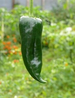 Chilli Don emilio ancho poblano