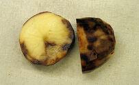 Potato Blight