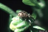 Pepper weevil Anthonomus eugenii Adult