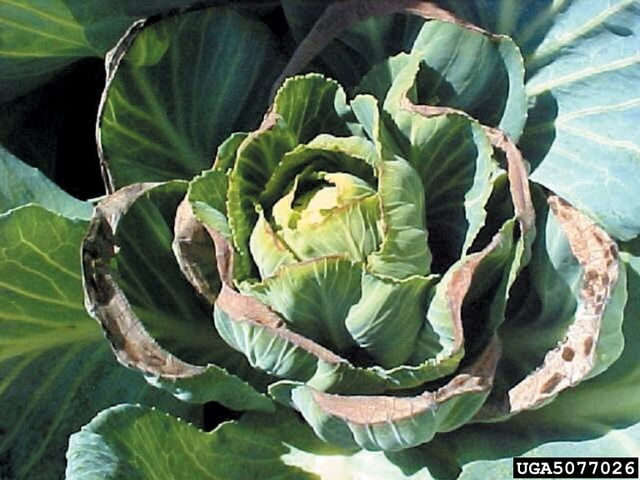 File:Cabbage Calcium Deficiency.jpg