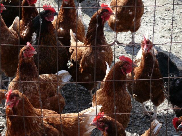 File:Chickens.jpg