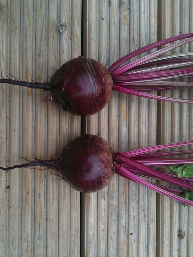 File:Beetroot Boltardy.jpg