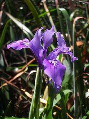 450px-Iris douglasiana