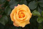 Rose Amber Flush.jpg