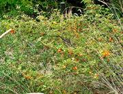 Fremontodendron californicum ssp decumbens 1