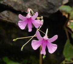 Impatiens scapiflora.jpg