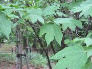 Lindera triloba(Leaves).jpg
