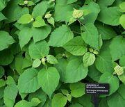 Hydrangea arborescens.jpg