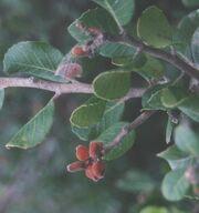 Lemonadeberry