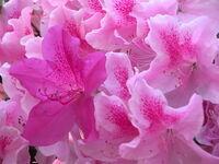 Azalea flower (George Lindley Taber)