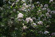 Viburnum x burkwoodii 001.JPG