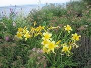 Lilies at Block Island IMG 1052.JPG