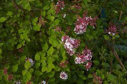 Syringa microphylla C