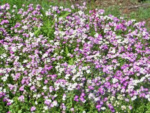 Wildflower1
