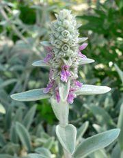 Stachys byzantina flowers