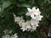 Solanum jasminoides1