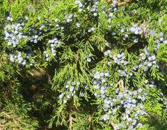 Juniper berries q.jpg