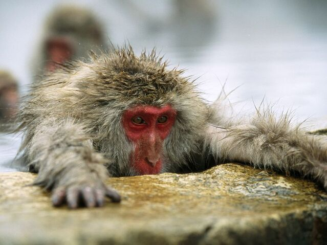 File:Macaque.jpg
