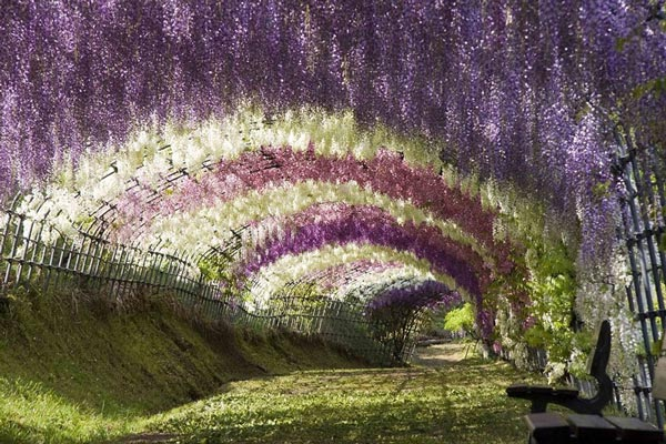 File:Wisteria-tunnel-japan-travel-nature-landscapes-photography.jpg